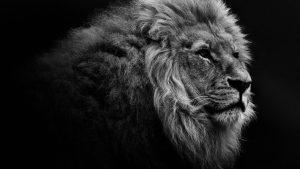 Lion Free Desktop Wallpaper HD 2560 x 1440